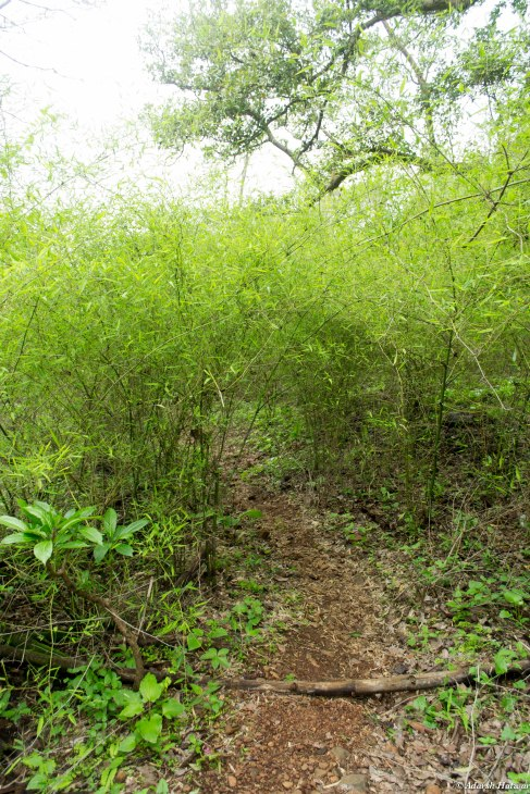 Bamboo stalks - a little into the monsoons they will be much thicker