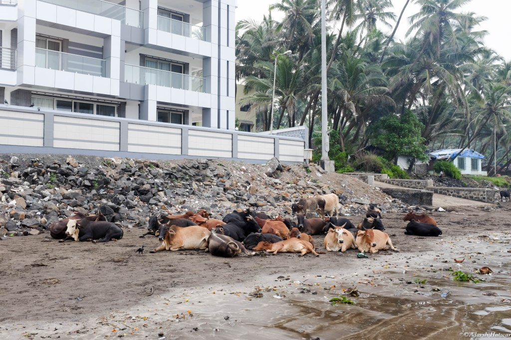 Sacred cows loitering on the beach the morning after Dussehra