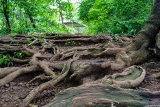 The trail up is lined with sinewy roots