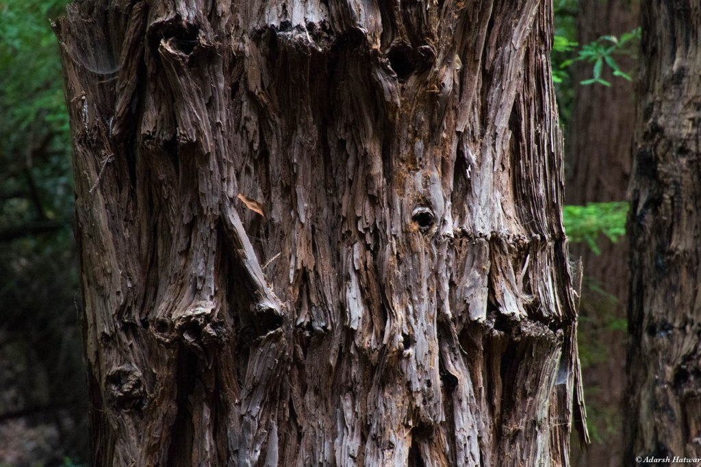 A Redwood close-up - their tough bark helps them survive forest fires which consumes the lesser trees around them. A competitive advantage which has stood these ancient giants well